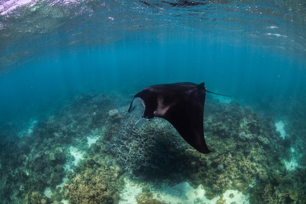 Manta Ray Ningaloo Reef Coral Bay